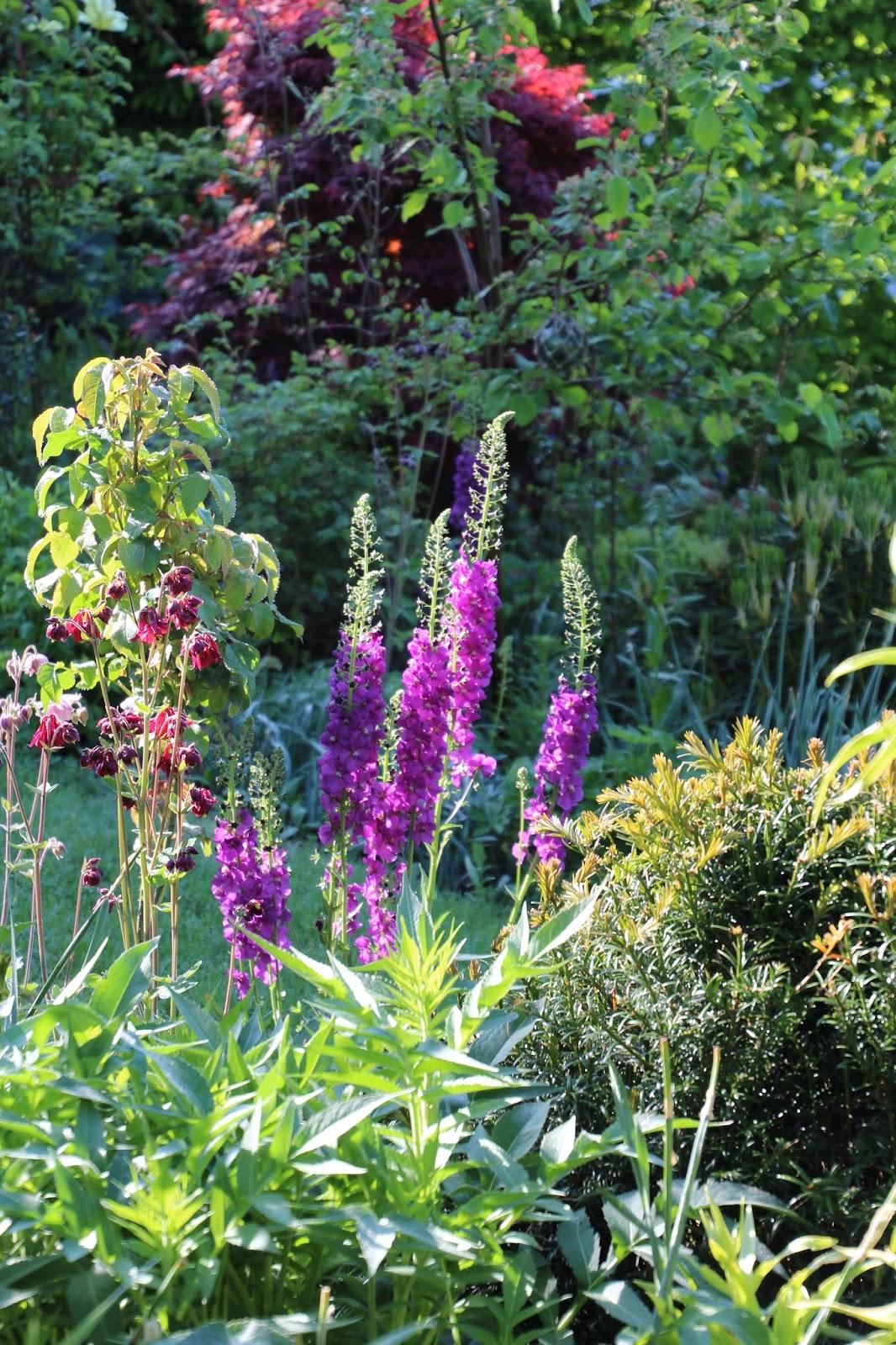 Violkungsljus Verbascum phoeniceum 'Violetta