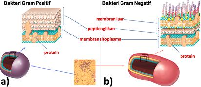 Apa Saja Perbedaan Bakteri Gram Positif dan Negatif?