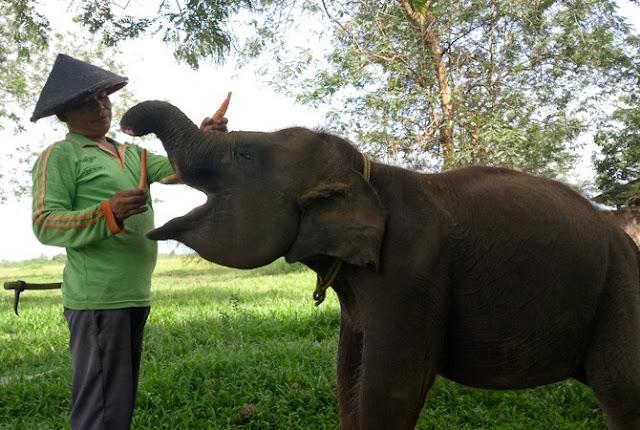 Erin, Gajah berbelalai buntung ini kini semakin sehat