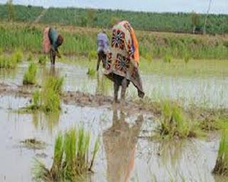 Guinée : Dubreka, Les paysans de Tanènè Bouramayah confrontés à des inondations dans les plaines propices à l'agriculture