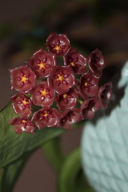 Hoya blashernaezii ssp. siariae red