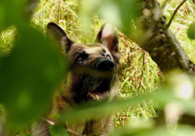 German Shepherd under a plum tree watching a cat.