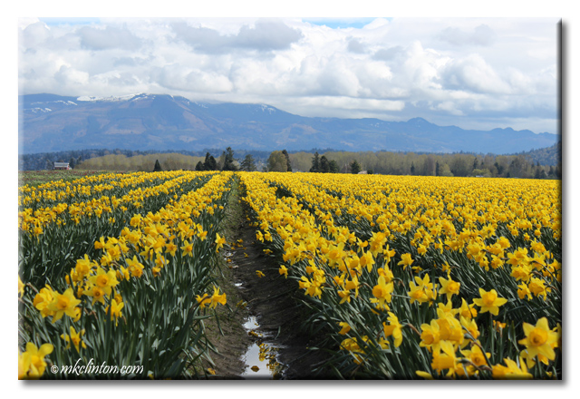 Daffodils at the Skagit Valley Tulip and Daffodil Festival