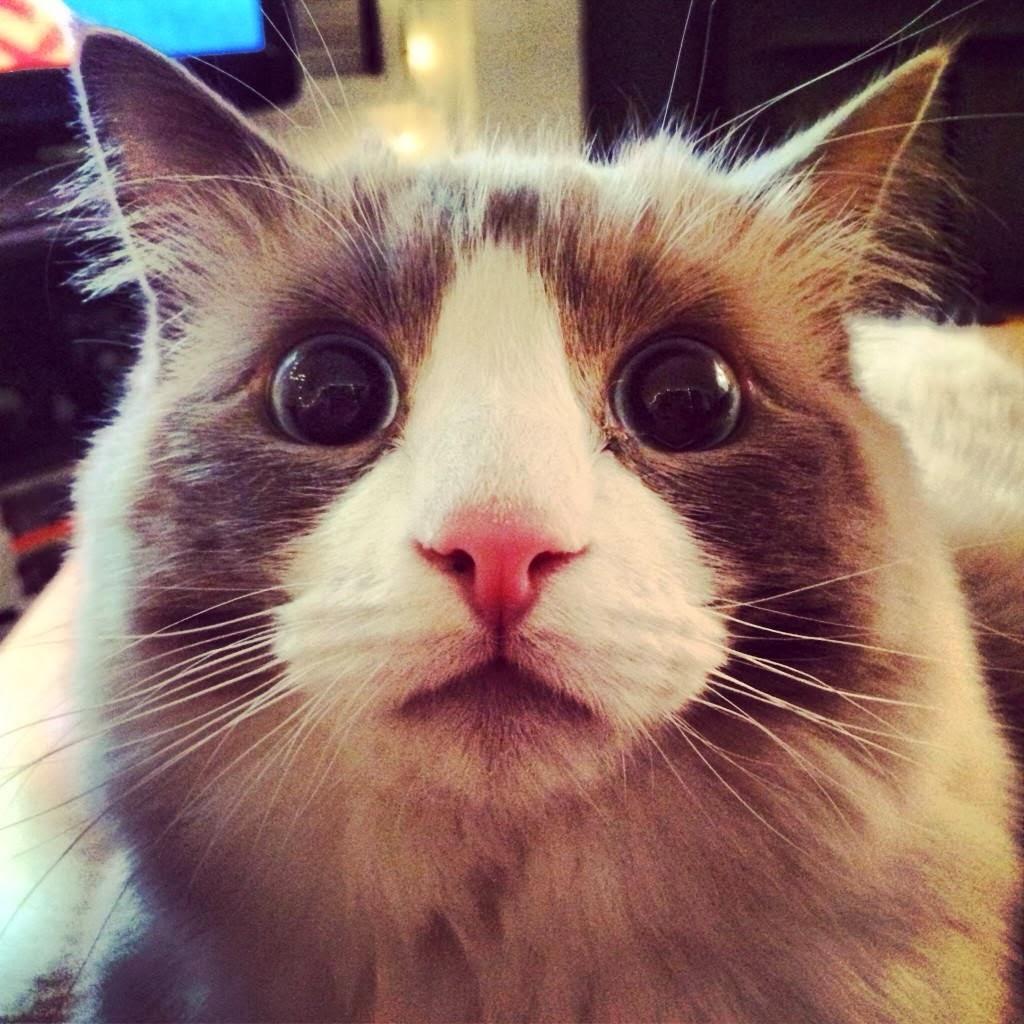 Funny cats - part 89 (40 pics + 10 gifs)   Amazing Creatures