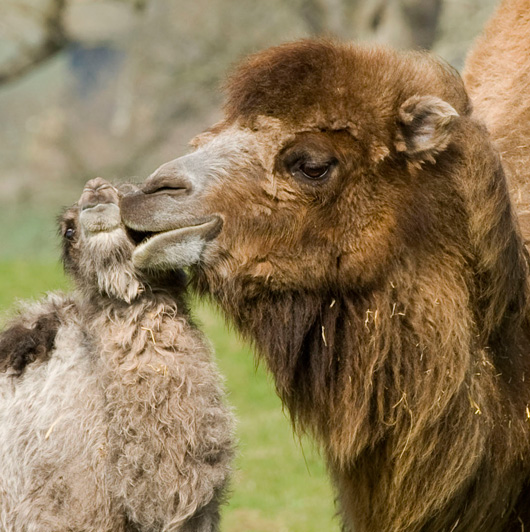 Baby Animals: Camel - Calf 25