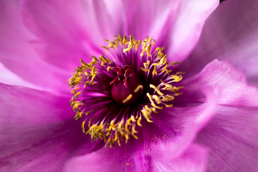 Blog + Fotografie by it's me! | fim.works | Bunt ist die Welt  Blumen | Makro eines Stempels einer rosa-fliederfarbene Bauernpfingstrose