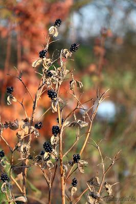 belcamda graines noires