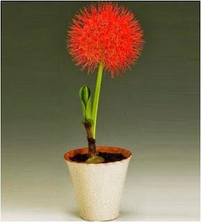 disebut bunga desember karena setiap kali berbunga hanya di bulan desember