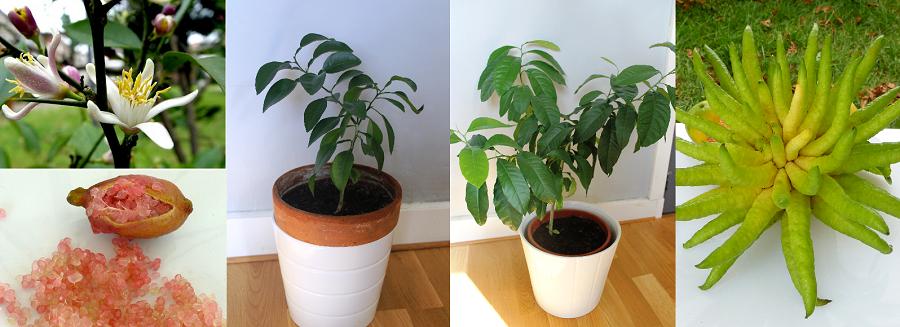 10 fruits tropicaux mang s 10 plantes tropicales faire pousser sweet random science. Black Bedroom Furniture Sets. Home Design Ideas