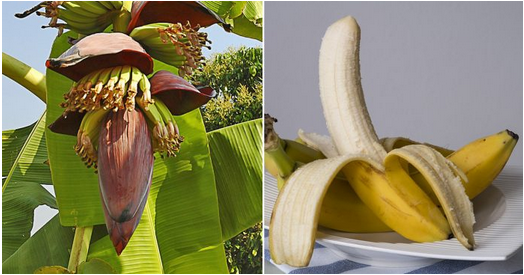 Known as the happy fruit by Europeans, eating banana can kill cer cells and treat depression