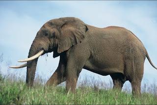 Google Image - Contoh Descriptive Text tentang Elephant (gajah)