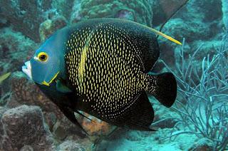 Franch angle fish