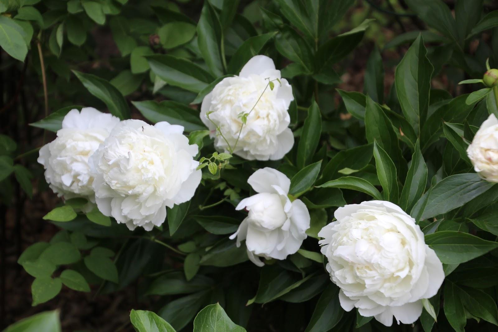 Luktpion Paeonia lactiflora 'Shirly Temple'