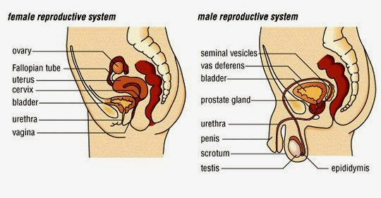 How To Reproduction Male And Female