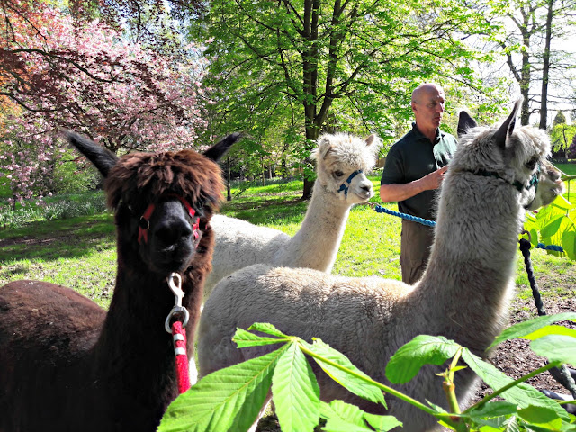 Walton Hall zoo alpaca walks