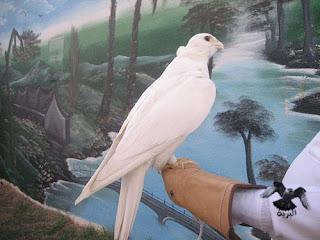 الصقر الحر الأبيض والأشقر falcon cherug cherag