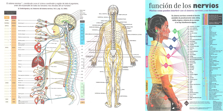 Relación entre raíces nerviosas, vértebras y órganos