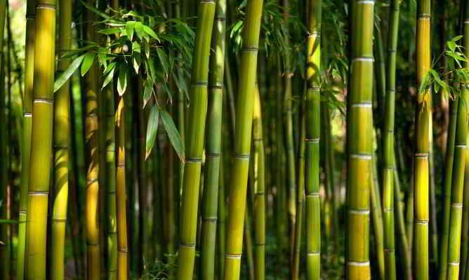 Cultivo de Bambú o Guaduas