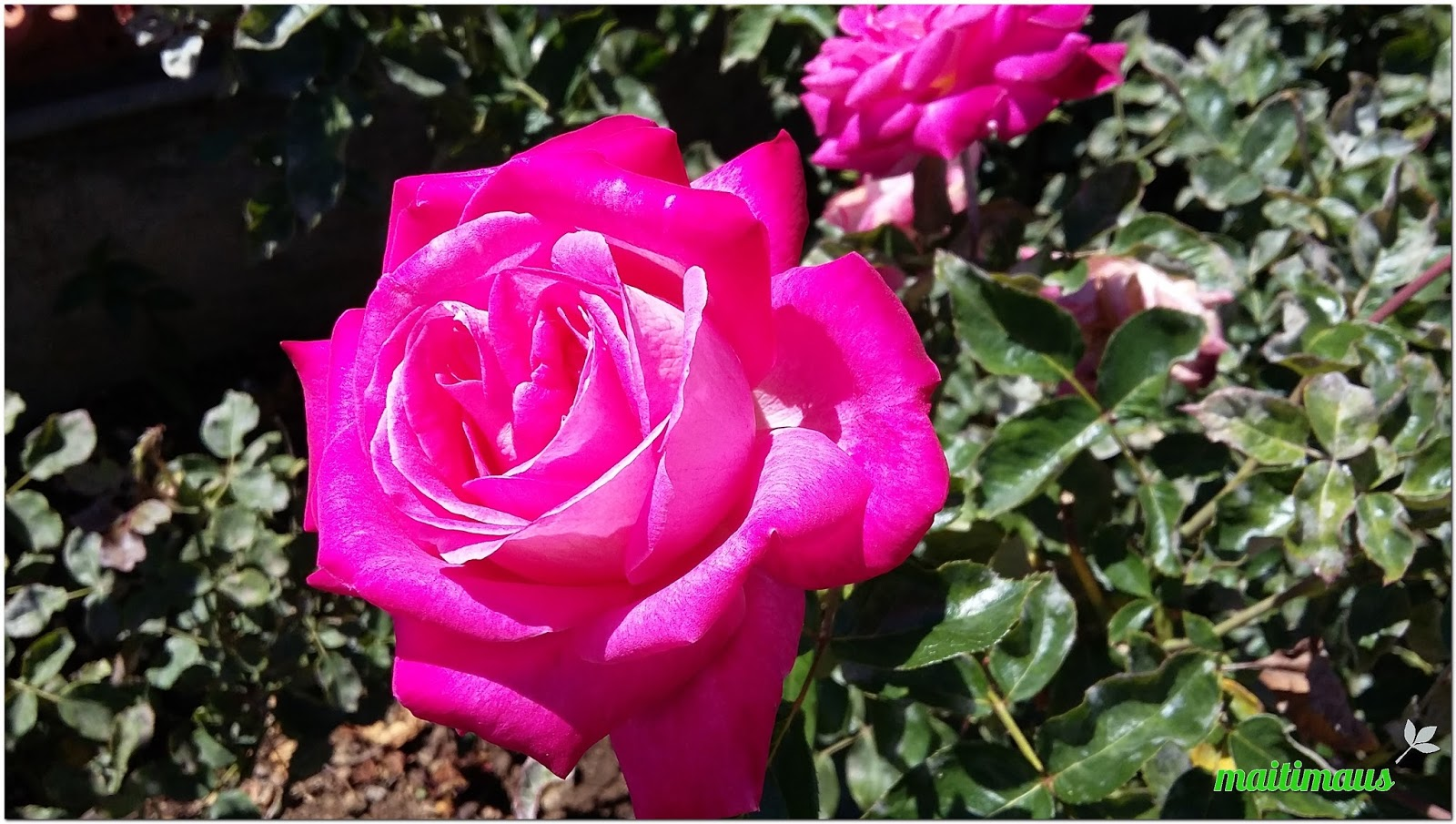 Maitimaus Platano Para Unas Bonitas Flores - Flores-bonitas-para-jardin