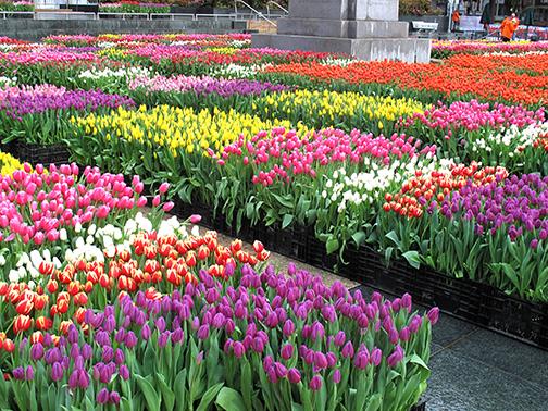 Tulip Day in San Francisco
