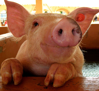 hewan terpintar dan tercerdas di dunia - babi