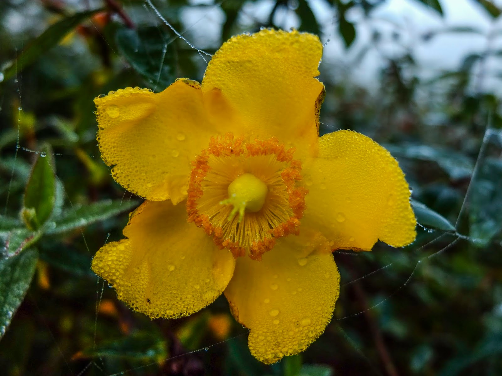 Rain drops on the petals of a yellow flower.