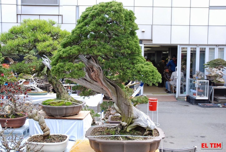 El tim bonsai 27 04 14 4 05 14 for Estanterias para bonsais