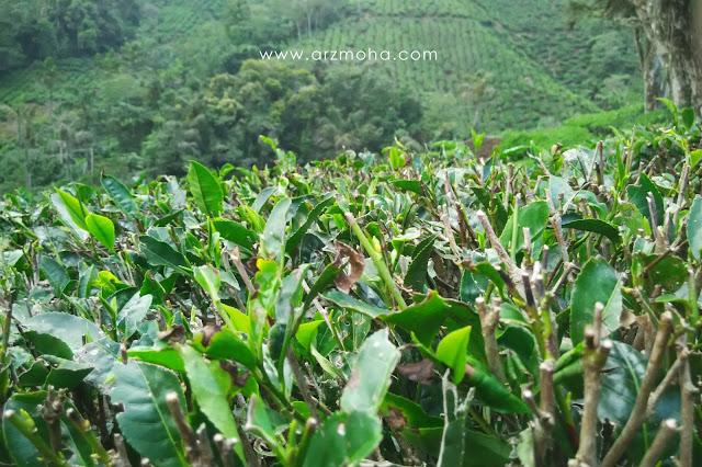 daun teh, cameron highlands, ladang teh cantik,