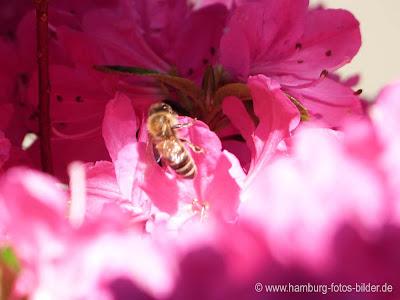 Biene in pinker Blume
