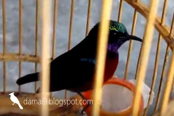 Tips Cara Merawat Burung Kolibri Ninja Dari Bahan Ombyokan Biar Cepat Gacor Youtube Cute766