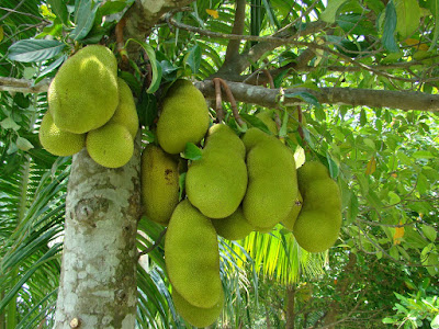 Jackfruit (Artocarpus Heterophyllus) Overview, Health Benefits, Side effects