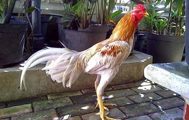 Warna bulu ayam bangkok sering kali dijadikan teladan dalam menamai suatu jenis ayam  Blorok Madu, Ciri, dan Pukulannya yang Mematikan