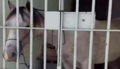 Cavalo passa a noite na prisão após dar coice em veículo
