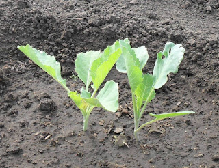 10 июня, после высадки капусты оставил на всякий случай по два растения в лунке
