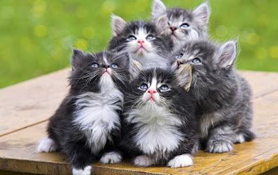 Hobi, kucing, persia, anggora, exotic, kampung, cat, positif, portal positif