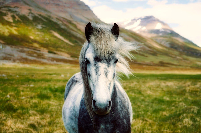 Cuando viajar a Islandia - Caballo