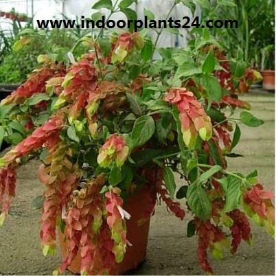 JUSTICLA brandegeana) Acanthaceae FHRIMP indoor PLANT