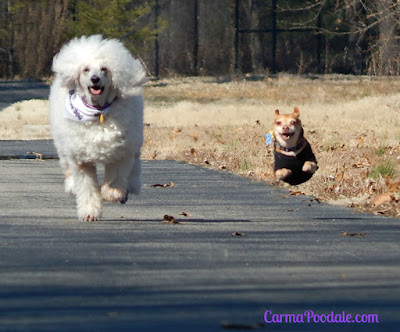 Poodle and Chihuahua running down a road