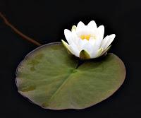Su üstünde beyaz nilüfer çiçeği