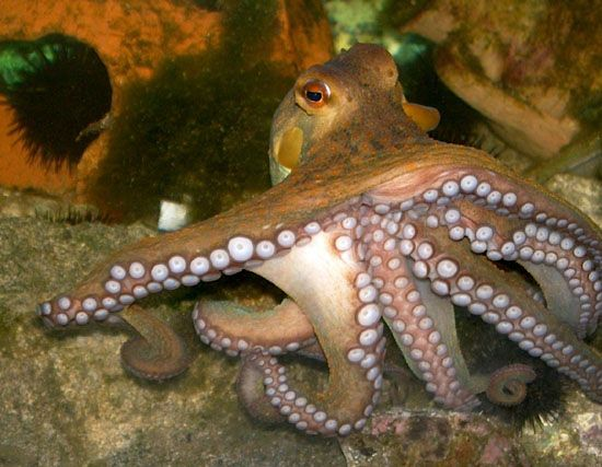 Freshwater octopus - photo#47