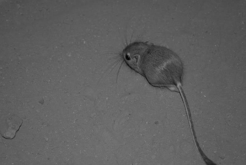 A picture of a kangaroo rat.