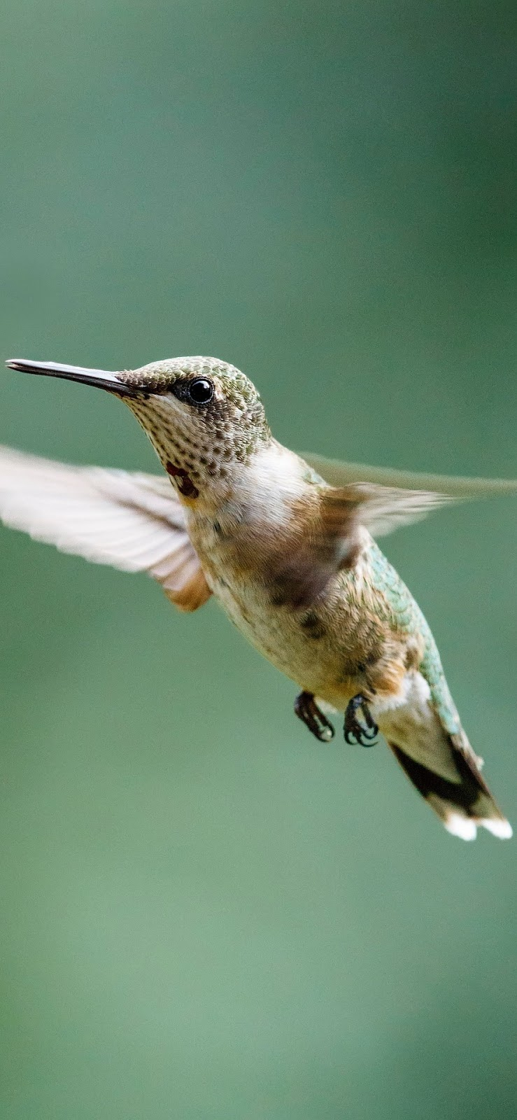 A ruby-throated hummingbird hovering.