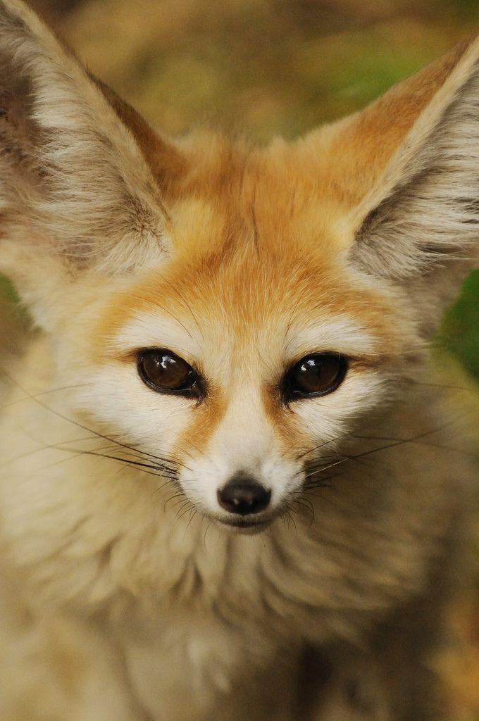 El blog de iv n olgu n f nec el orejudo zorro del desierto - Pagina da colorare fennec fox ...