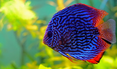Ikan Discus - Cara Budidaya Ikan Discus