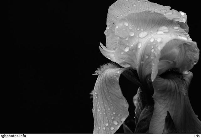 Fotografia in bianco e nero di un fiore di Iris con gocce di rugiada
