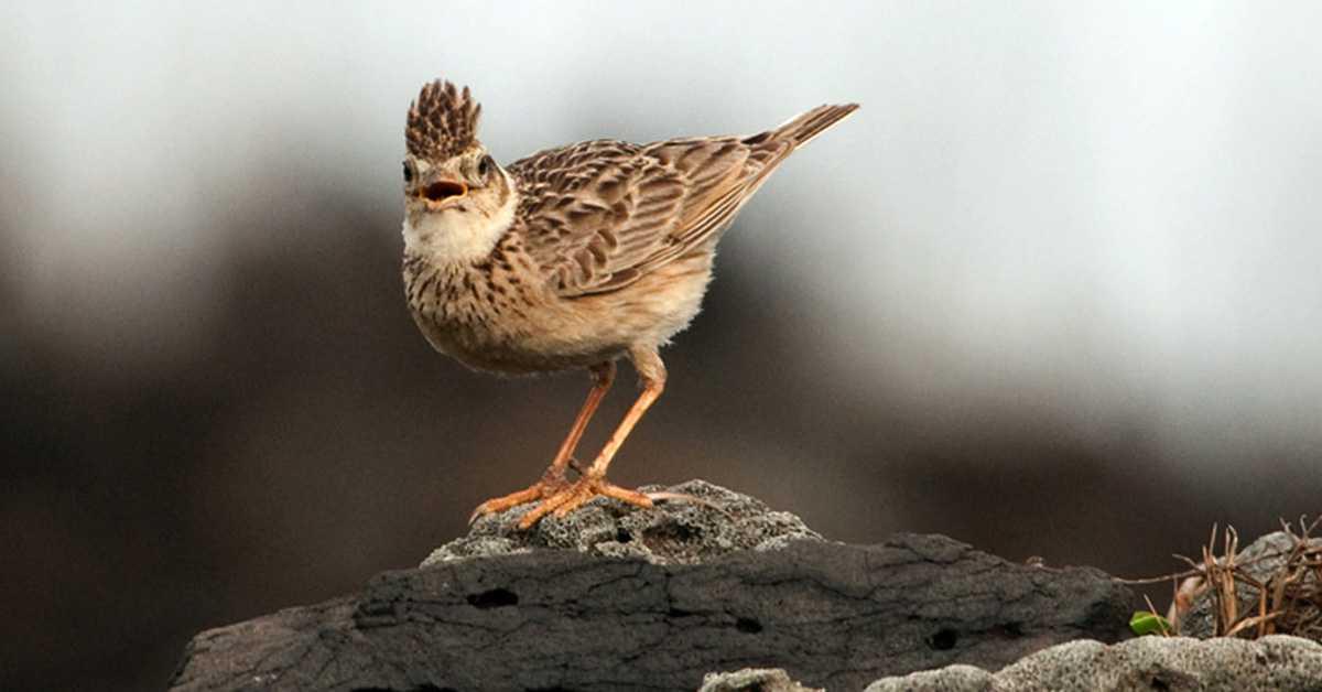 Jambul Paten Burung Branjangan Yang Dari Wates Memiliki Suara Kristal