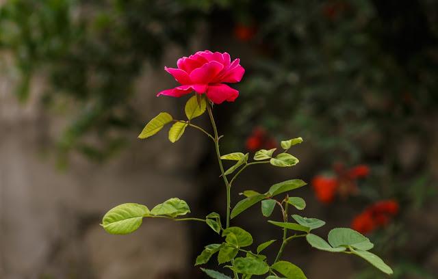 taman penuh bunga mawar magdalena