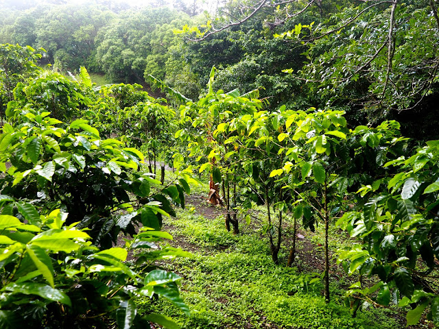 Coffee, chocolate & sugar cane tour in Monteverde, Costa Rica