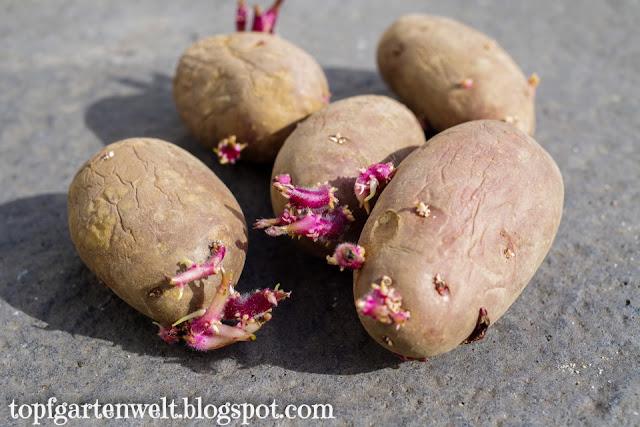Kartoffelsorte Heiderot | Erdäpfel im Kartoffeltopf anbauen - Gartenblog Topfgartenwelt