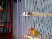 Cara Menjinakan Burung Lovebrid